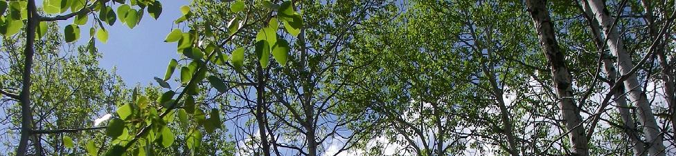 Populus Tremboloides